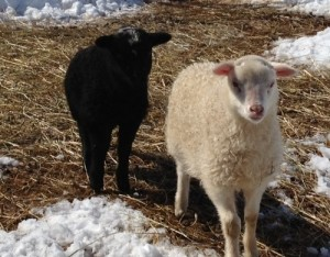 Shetland X twins - black ram and white ewe lambs